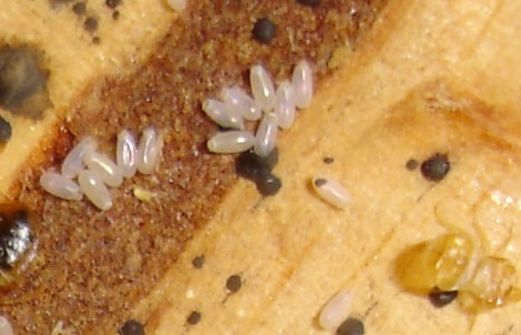 Bed Bug Eggs U2013 What To Look For