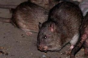 Get Rid Of Rats In The Yard