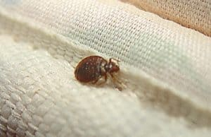 bed bug on sheets