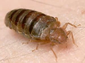 isopropyl alcohol bed bugs