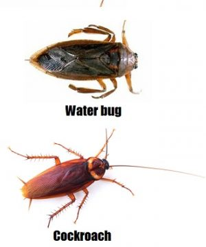 cockroach and waterbug