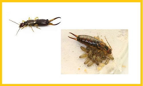 how to get rid of earwigs - pictures