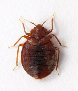 adult bed bug pictures