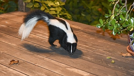 How to get rid of a skunk causing smell under your house ...