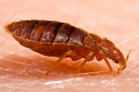 bed bug close up photo