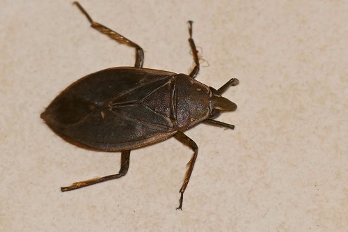 water bug picture close up