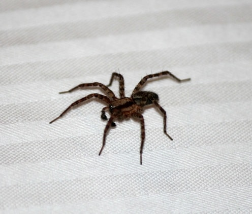 picture of a house spider