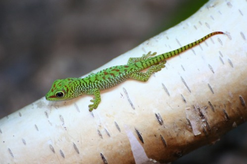 picture of a baby gecko